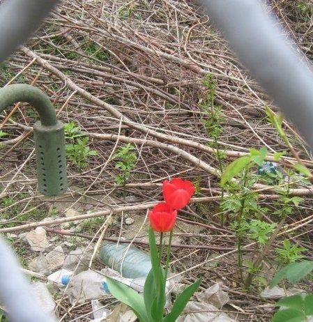 lalele, flori